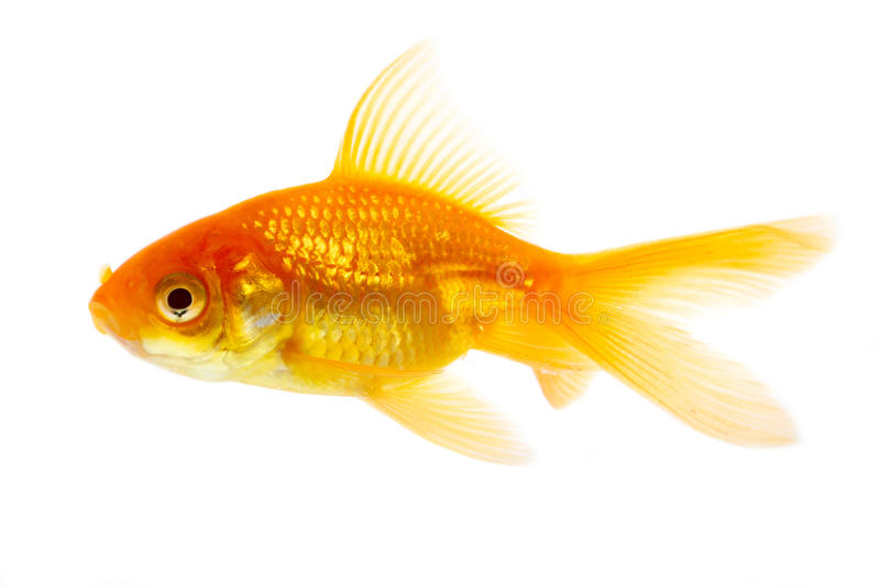 Poissons d'or images stock