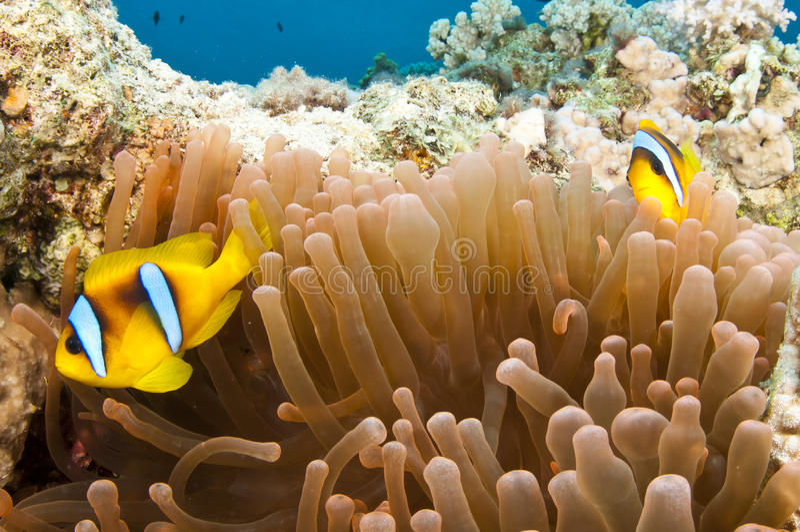 Poissons d'anémone sur le récif coralien photos libres de droits