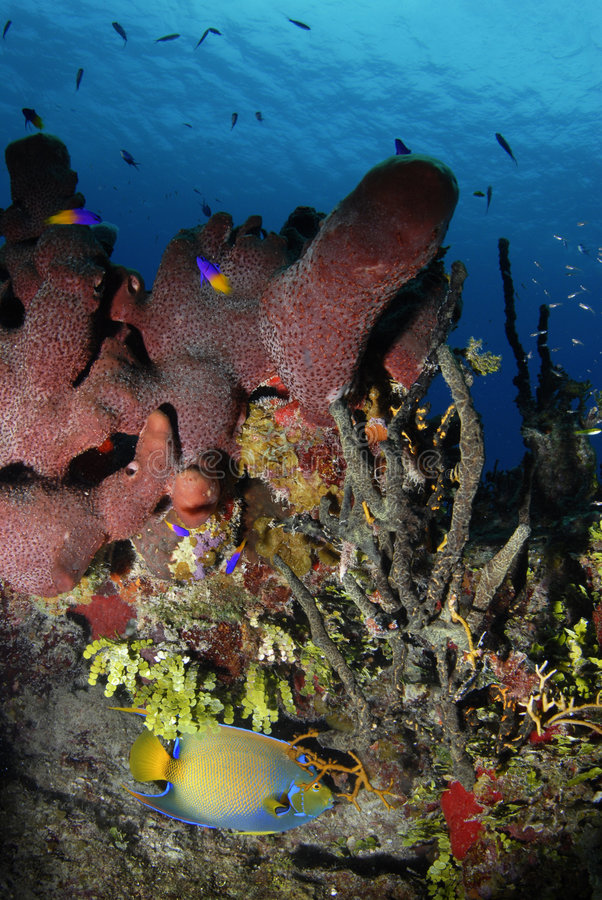 Poissons d'ange de la Reine dans le corail photos libres de droits