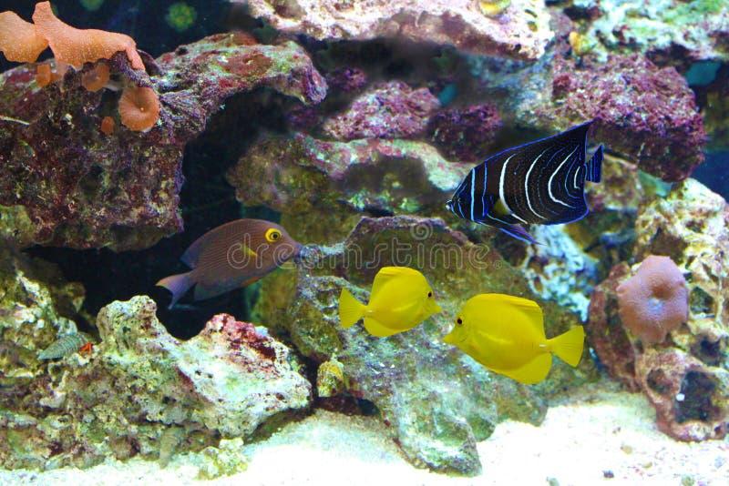Poissons d'aquarium d'eau salée image stock