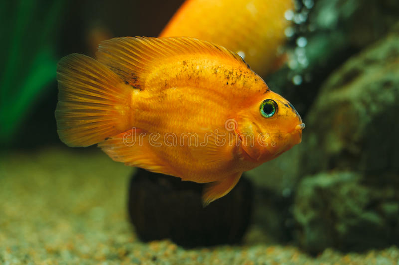 Poissons d 39 aquarium poisson rouge image stock image du for Aquarium 1 poisson