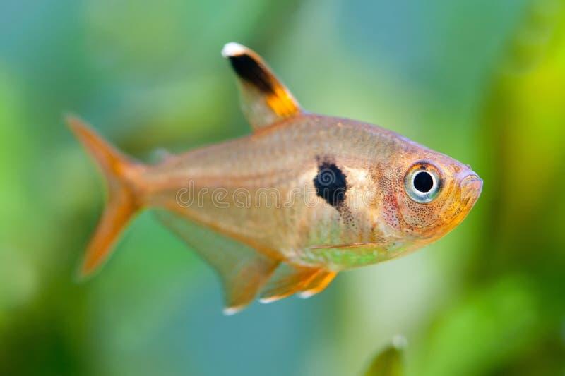 poissons d 39 aquarium rosy tetra r servoir d 39 eau douce un bel aquarium d 39 eau douce plant vert. Black Bedroom Furniture Sets. Home Design Ideas