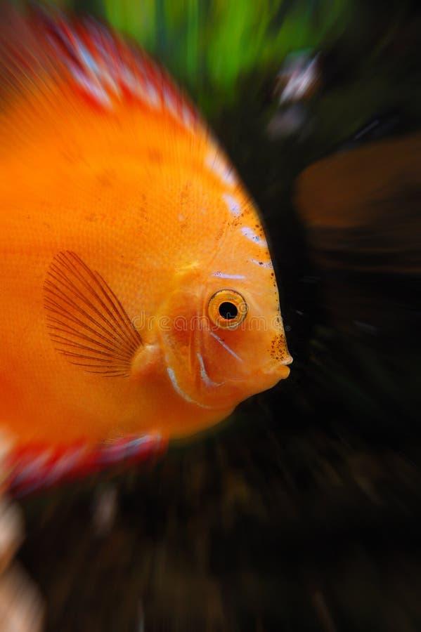 Poissons d'or dans l'aquarium photo libre de droits