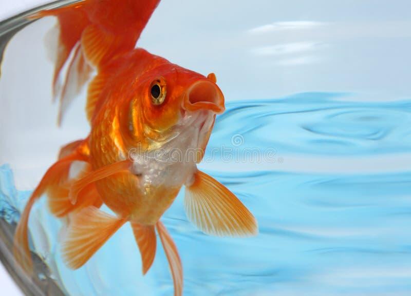 Poissons d'or dans un aquarium photo libre de droits