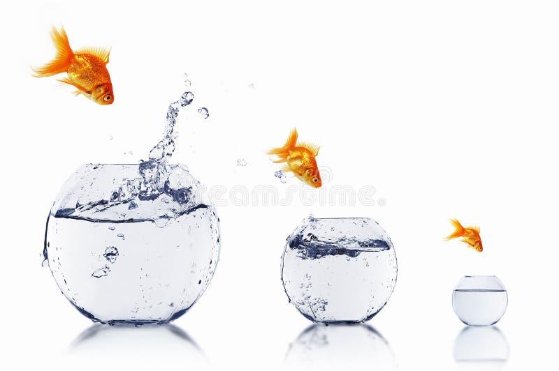 Poissons d'or dans un bocal à poissons photos libres de droits