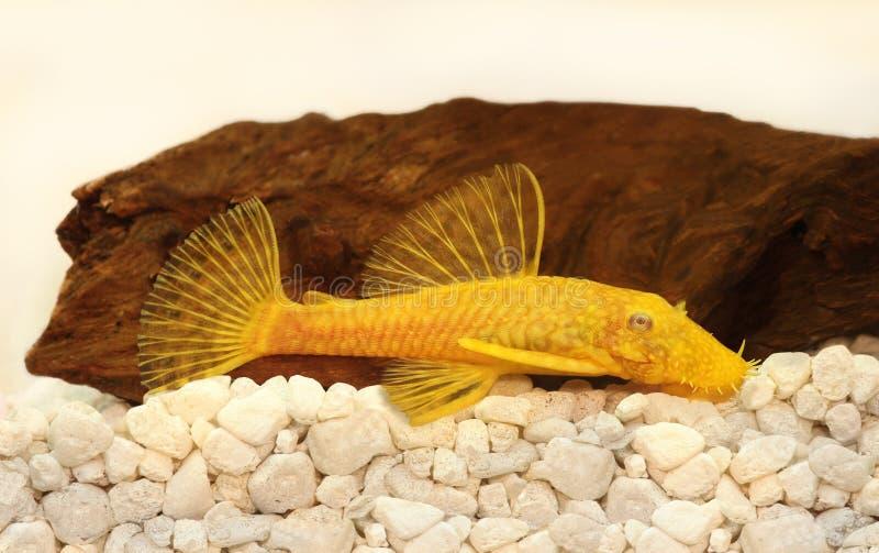 Poissons d'eau douce d'aquarium d'Ancistrus de pleco de poisson-chat de Poil-nez masculin d'or albinos photographie stock