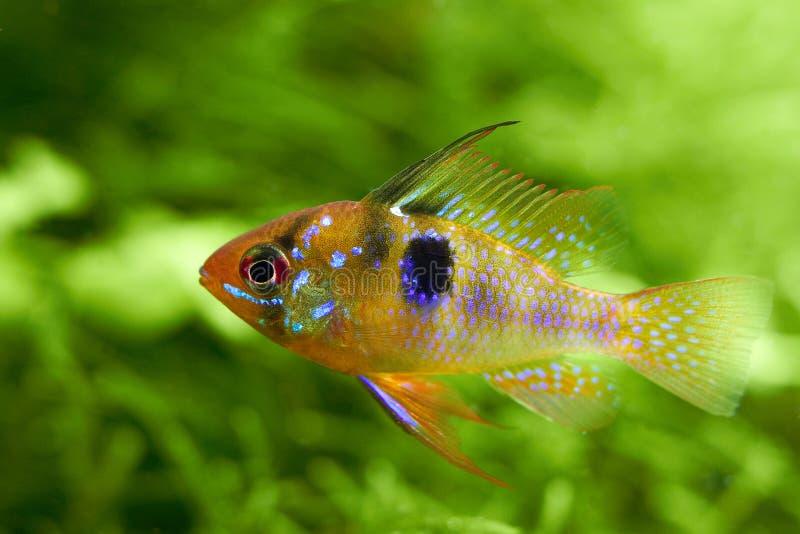 poissons d 39 eau douce d 39 aquarium sur un fond vert images stock image 16755134. Black Bedroom Furniture Sets. Home Design Ideas