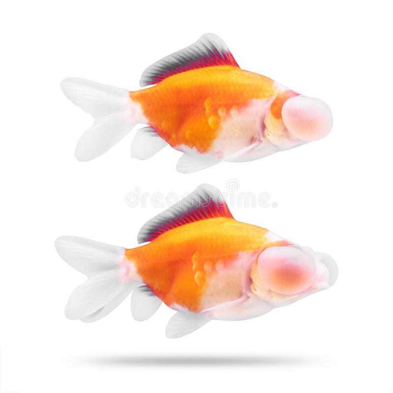 Poissons d'or d'isolement sur le fond blanc Oeil de poisson rouge et de bulle Chemin de coupure images libres de droits
