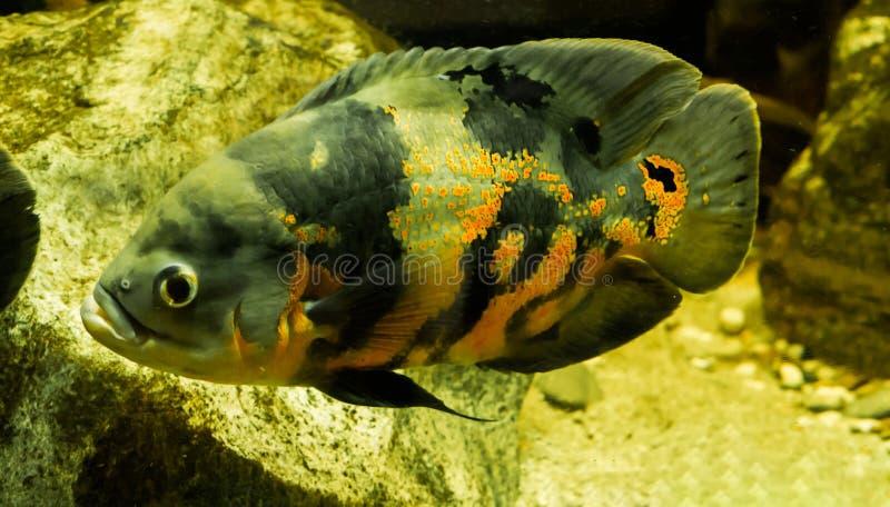 Poissons d'oscar de tigre en plan rapproché qui nage dans l'eau, un animal familier tropical d'Amérique du Sud photographie stock