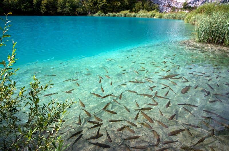 Poissons dans le lac images libres de droits