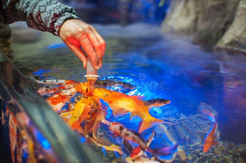 Poissons de alimentation dans l'aquarium image libre de droits