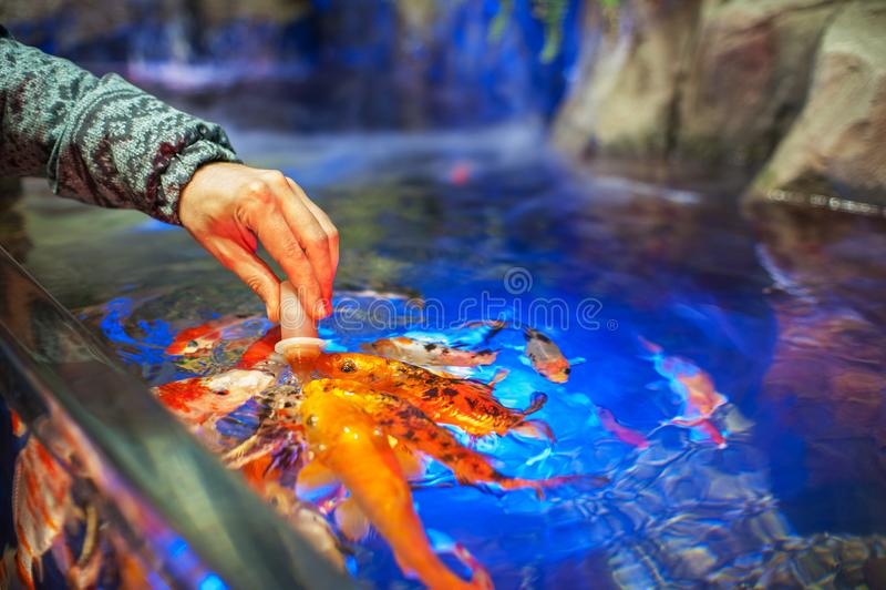 Poissons de alimentation dans l'aquarium photos stock