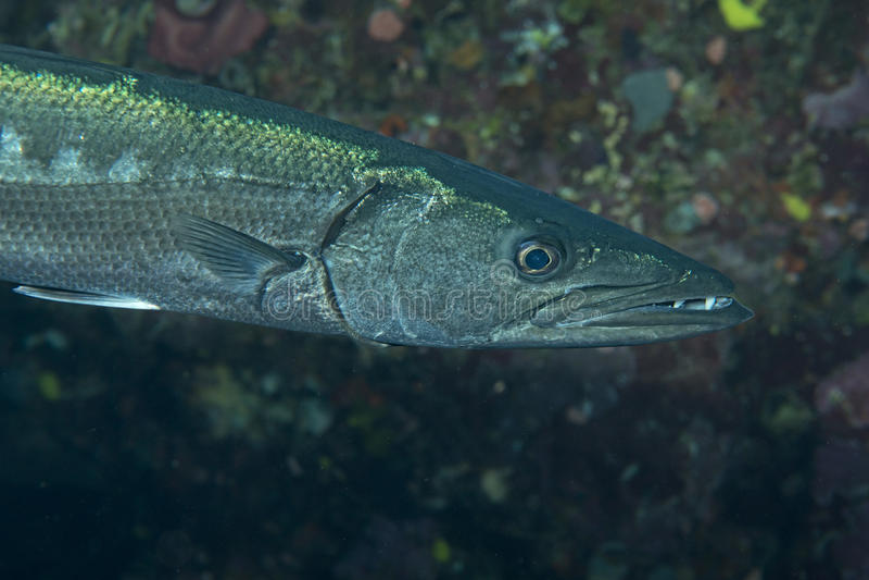 Poissons de barracuda sous-marins photographie stock