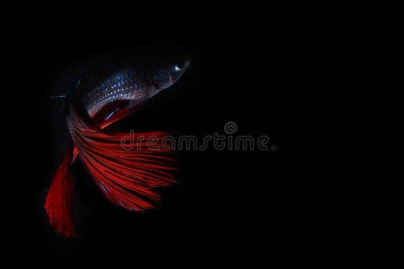 Poissons de Betta photo libre de droits