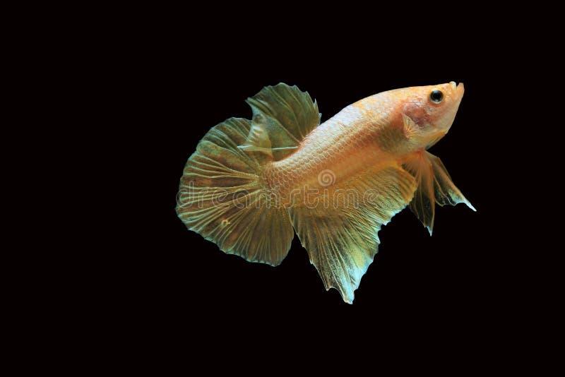 Poissons de betta d'or, poissons de combat, poissons de combat siamois d'isolement photos stock