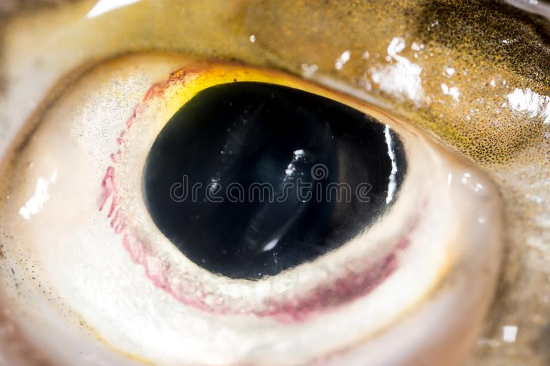 Poissons de brochet d'oeil Instruction-macro superbe image stock