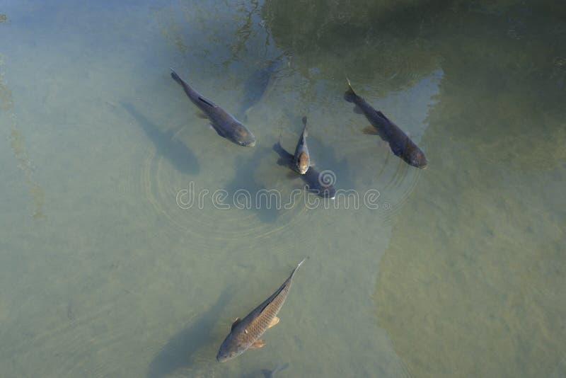 poissons de carpe photos libres de droits