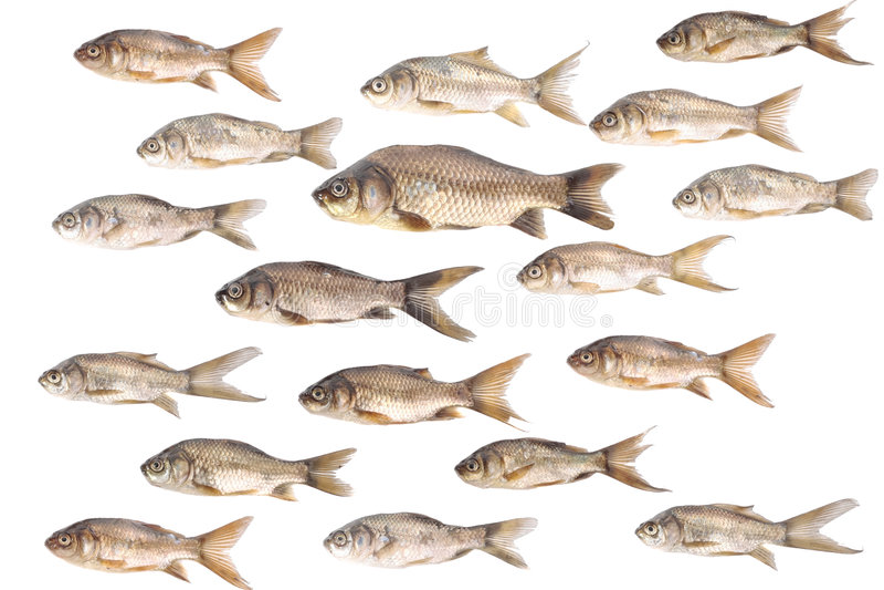 poissons de carpe de backround au-dessus de blanc photo libre de droits