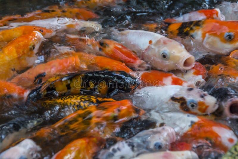 Poissons de carpe de Koi dans un lac essayant tout d'obtenir la nourriture photo stock