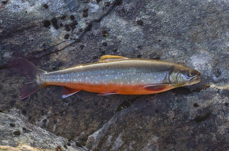 Poissons de char arctique sur la pierre de rivière Salvelinus photo stock