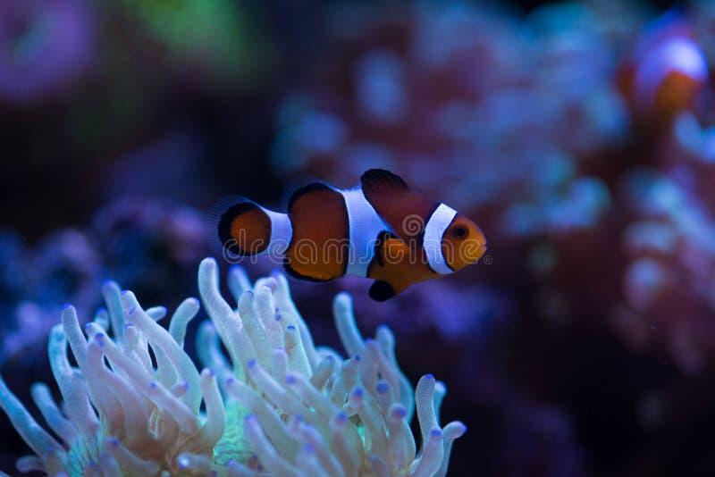 Poissons de clown avec des coraux images stock