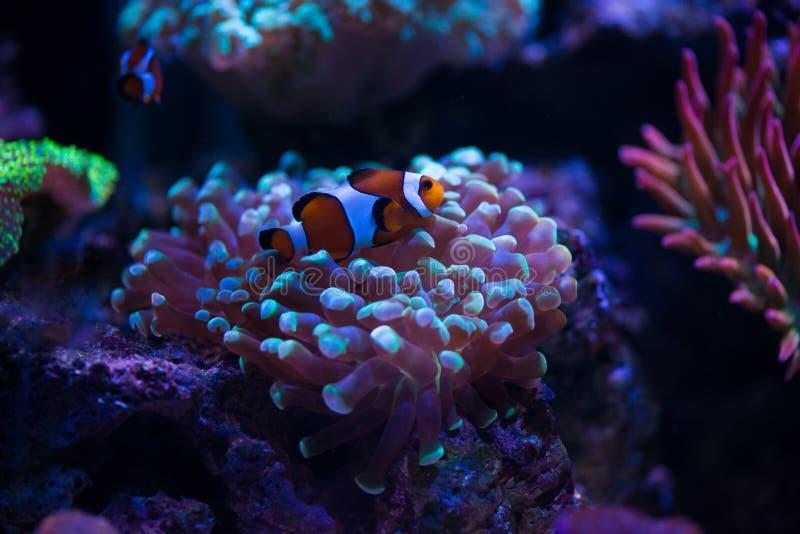 Poissons de clown avec des coraux photo stock