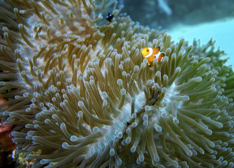 Poissons de clown dans le corail images stock