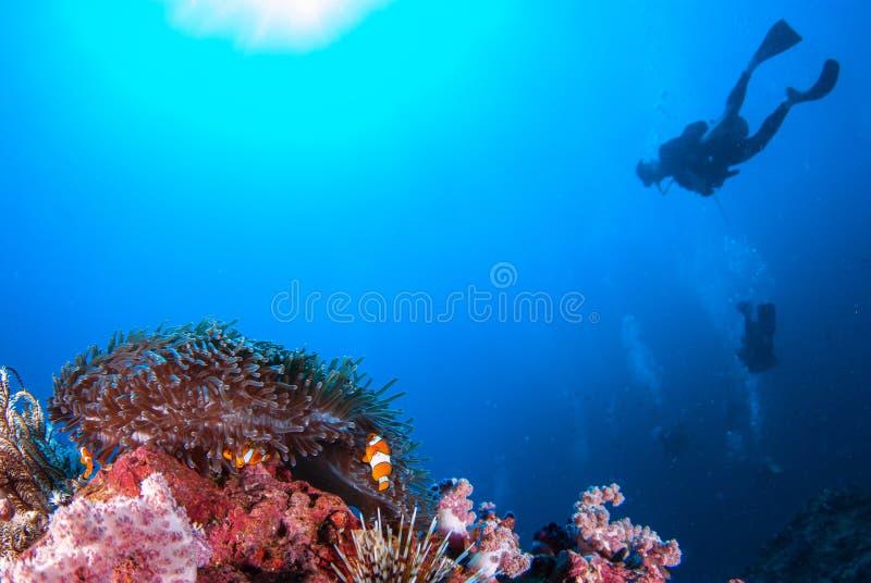 Poissons de clown dans les roches d'actinie et le plongeur autonome photos stock