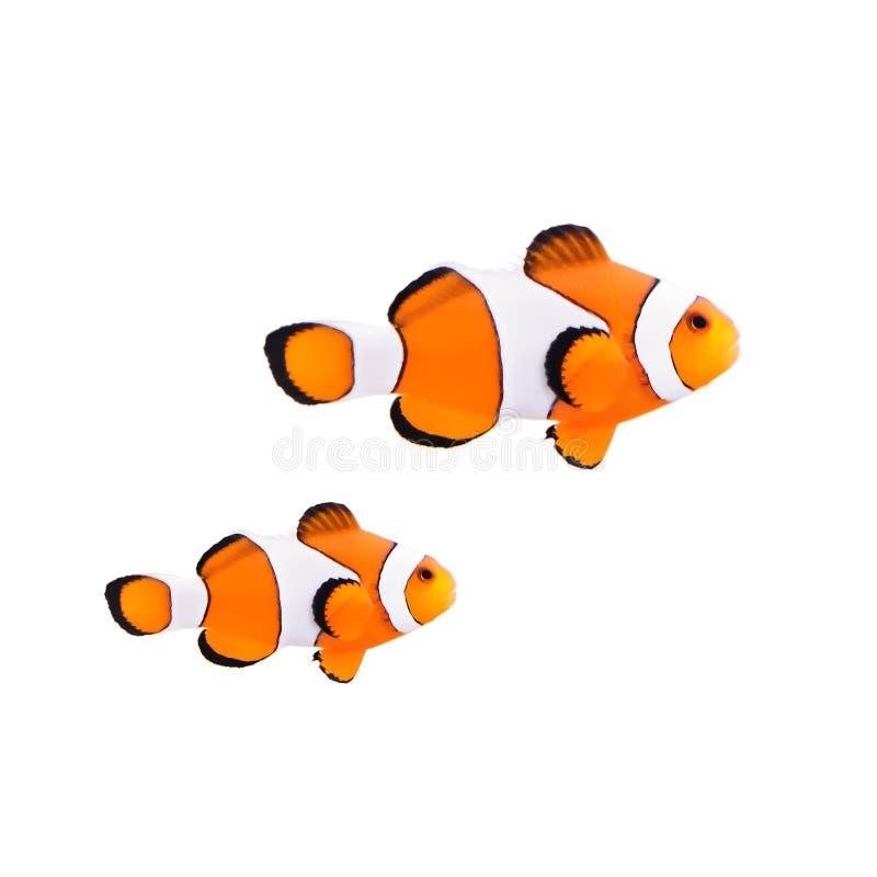 Poissons de clown ou poissons d'anémone photo libre de droits