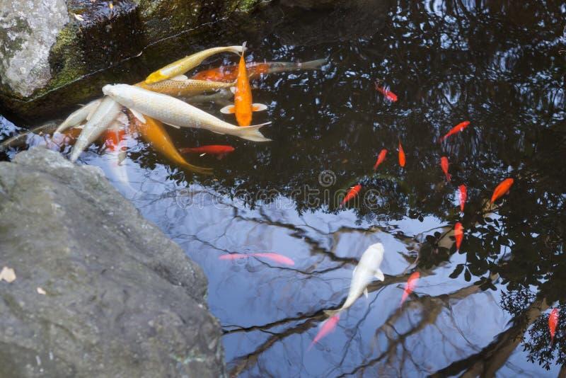 Poissons de Coi dans un jardin japonais photographie stock libre de droits