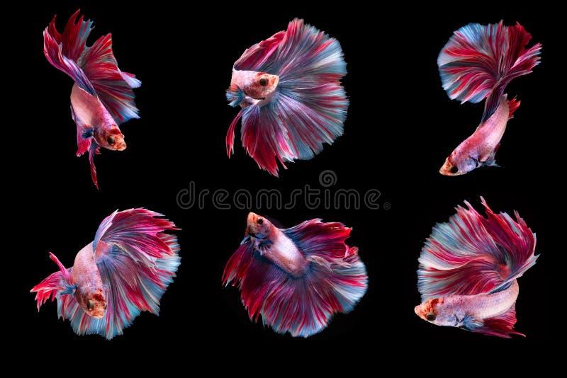 6 poissons de combat de moment photo libre de droits