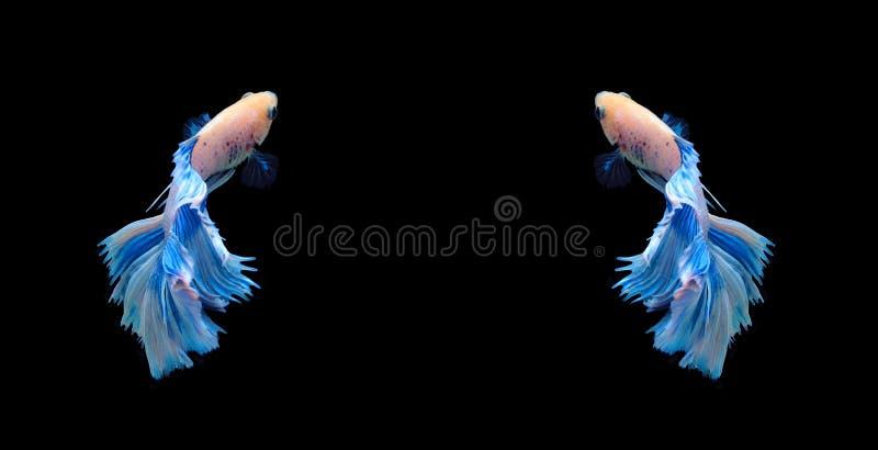 Poissons de combat siamois blancs et bleus, poissons de betta d'isolement sur le bla images stock