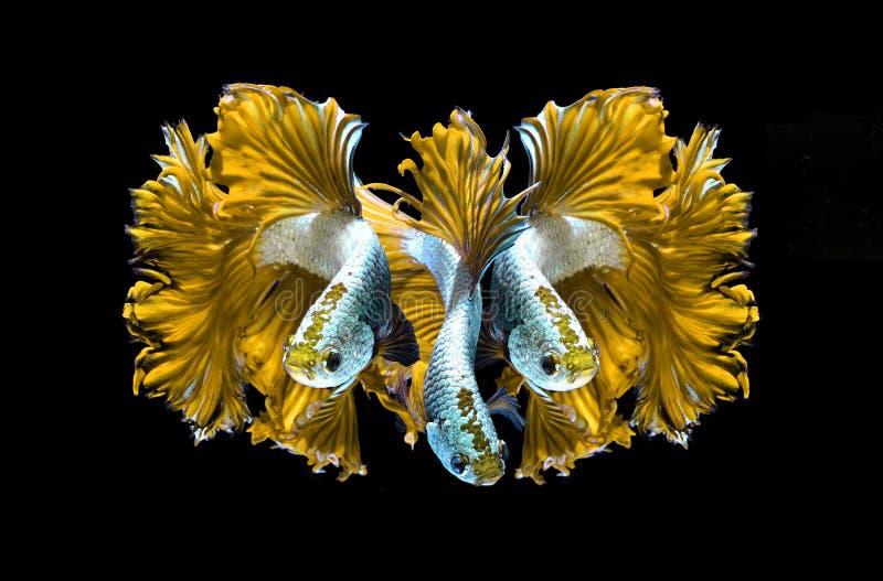 Poissons de combat siamois de dragon jaune, poissons de betta d'isolement sur le blac photographie stock