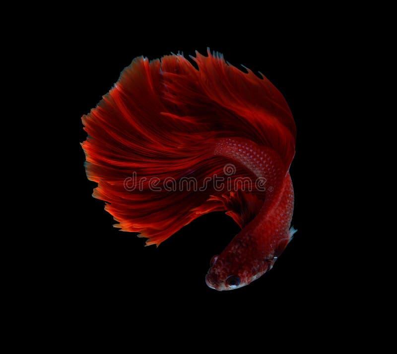 Poissons de combat siamois de dragon rouge, poissons de betta d'isolement sur b noir image stock