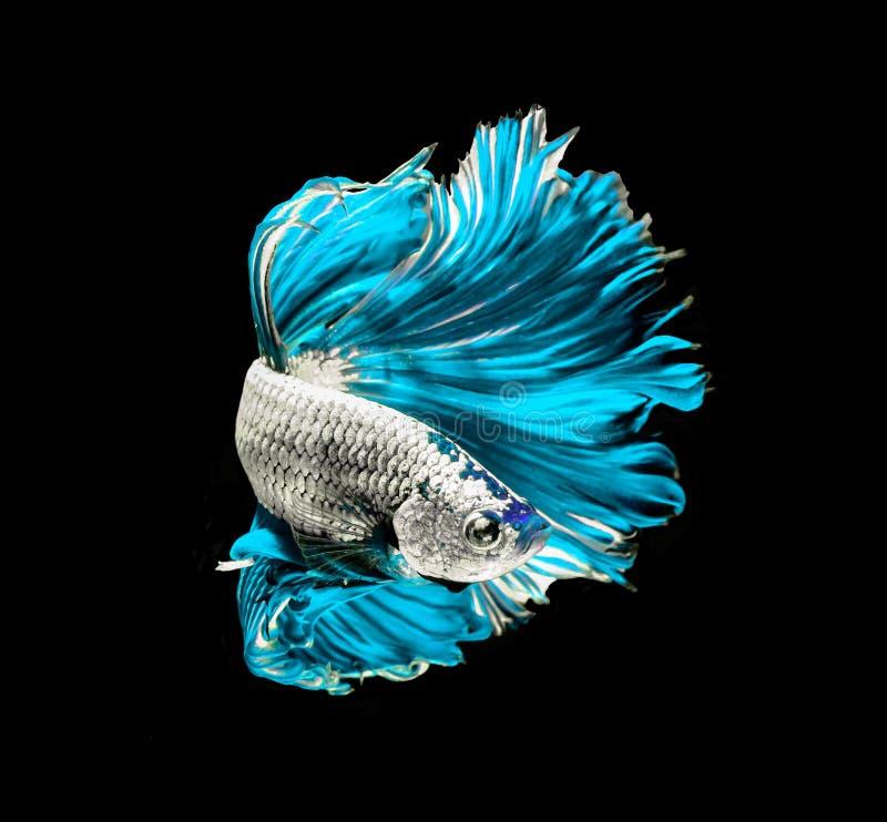 Poissons de combat siamois de dragon de turquoise, poissons de betta d'isolement sur b image libre de droits
