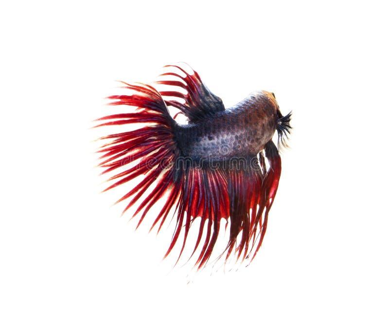 Poissons de combat siamois, poissons de betta sur le fond blanc photos stock