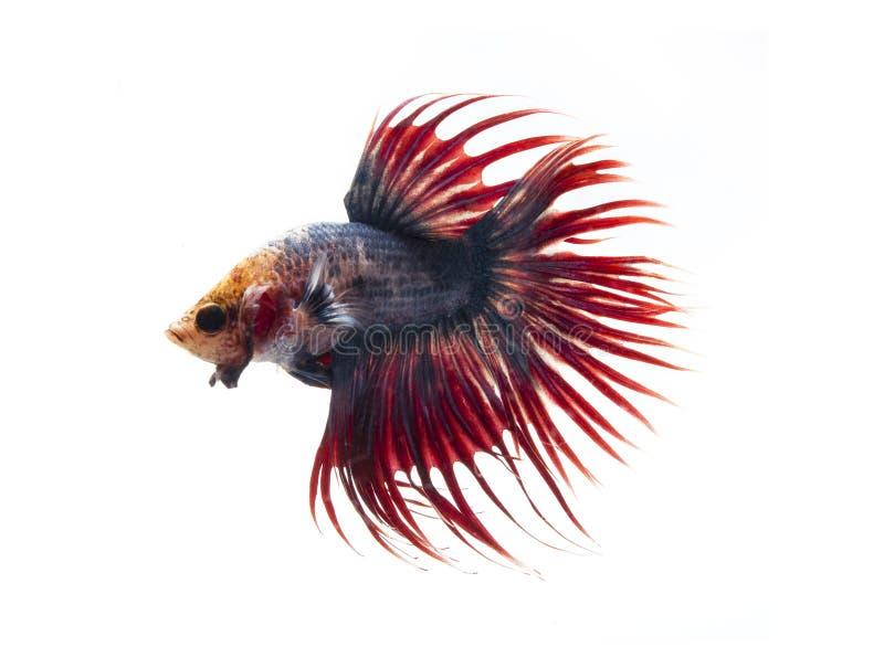Poissons de combat siamois, poissons de betta sur le fond blanc photo libre de droits