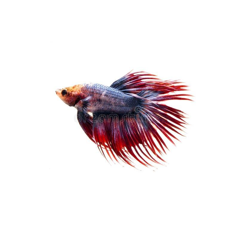 Poissons de combat siamois, poissons de betta sur le fond blanc images libres de droits