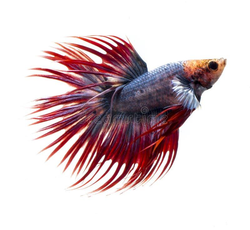 Poissons de combat siamois, poissons de betta sur le fond blanc images stock