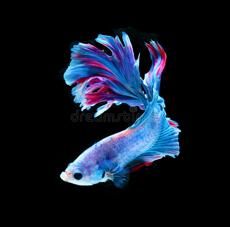 Poissons de combat siamois rouges et bleus, poissons de betta d'isolement sur le noir images stock