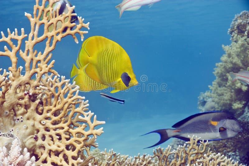 poissons de corail photo libre de droits