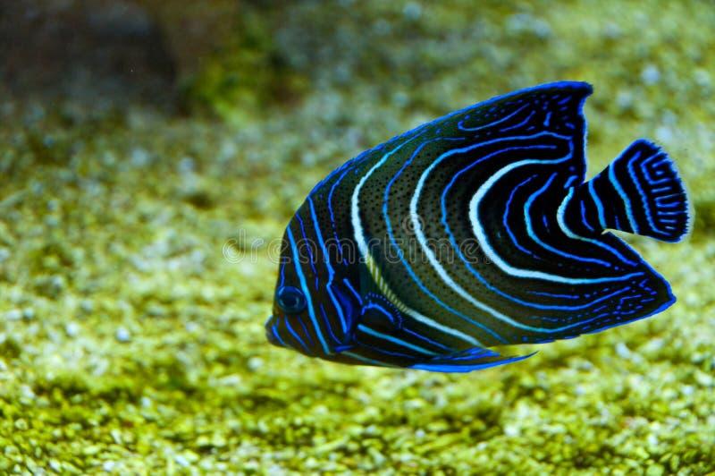 Poissons de corail images libres de droits