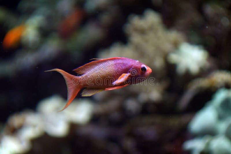 Poissons de corail rouges et pourprés images stock