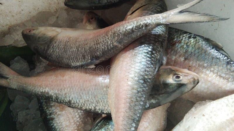 Poissons de hilsas, poissons savoureux de hilsas photographie stock