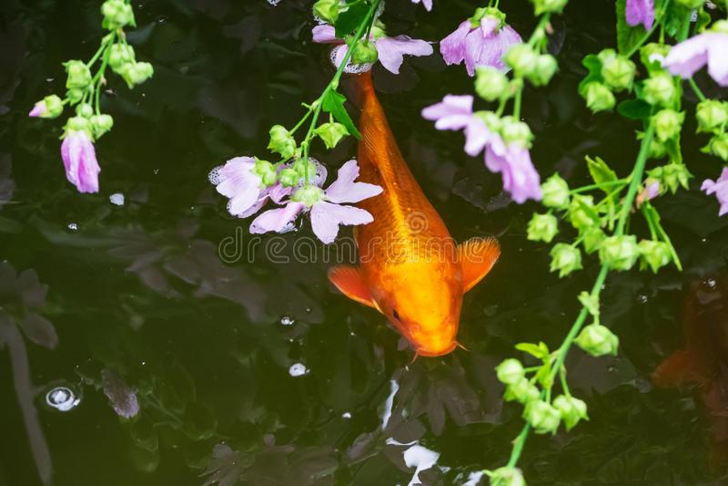 Poissons de Koi dans l'étang photos libres de droits