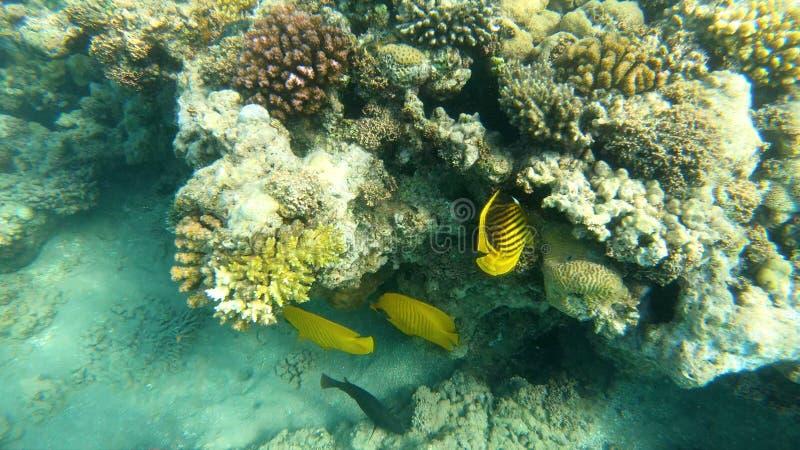 Poissons de la Mer Rouge Bain multicolore de poissons au-dessus des coraux photos stock
