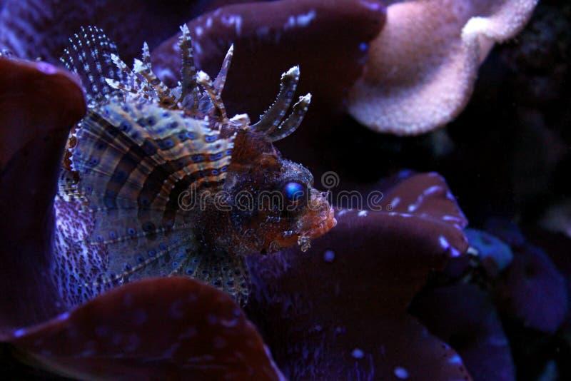 Poissons de lion dans l'aquarium marin image stock