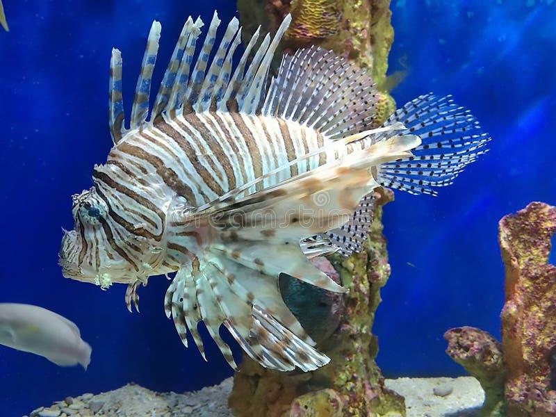 Poissons de lion du monde de mer image libre de droits