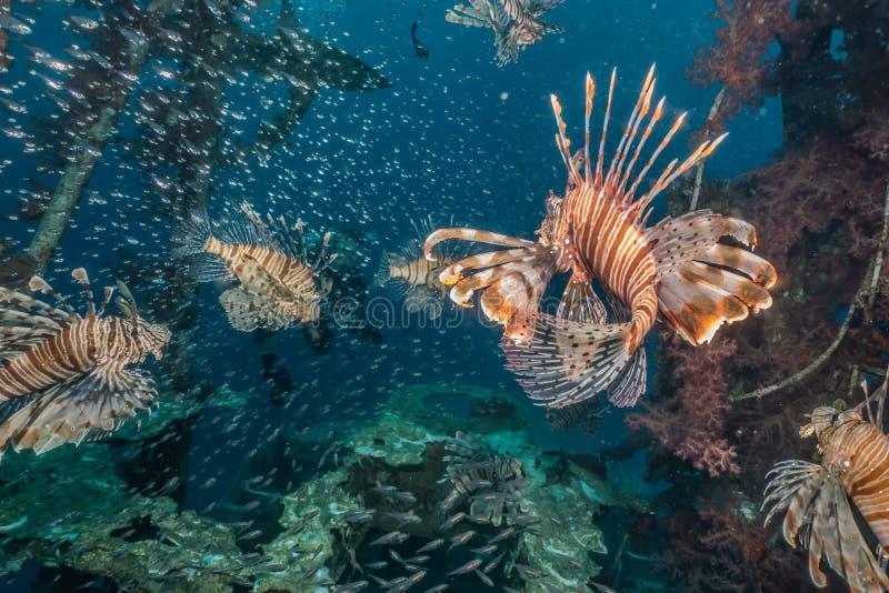 Poissons de lion en Mer Rouge photo libre de droits
