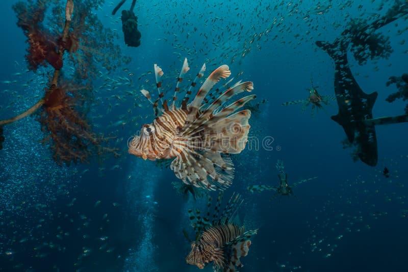 Poissons de lion en Mer Rouge images libres de droits